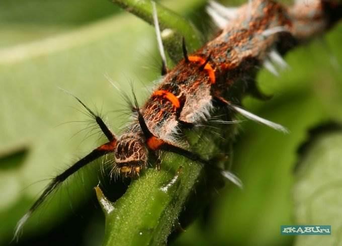 Гусеницы бабочек фото