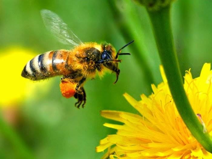 Пчела у цветка