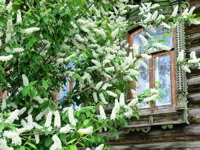 За окном цветёт черёмуха