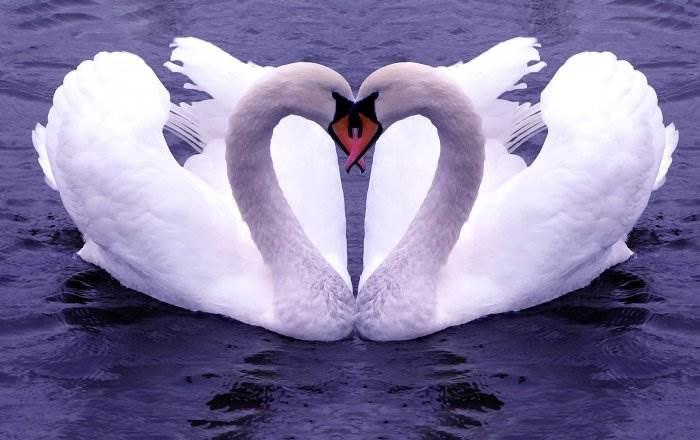 Влюблённые лебеди