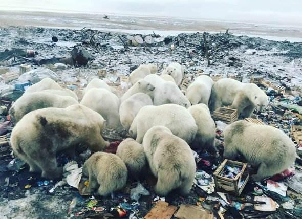 Нашествие белых медведей на Новой Земле фото