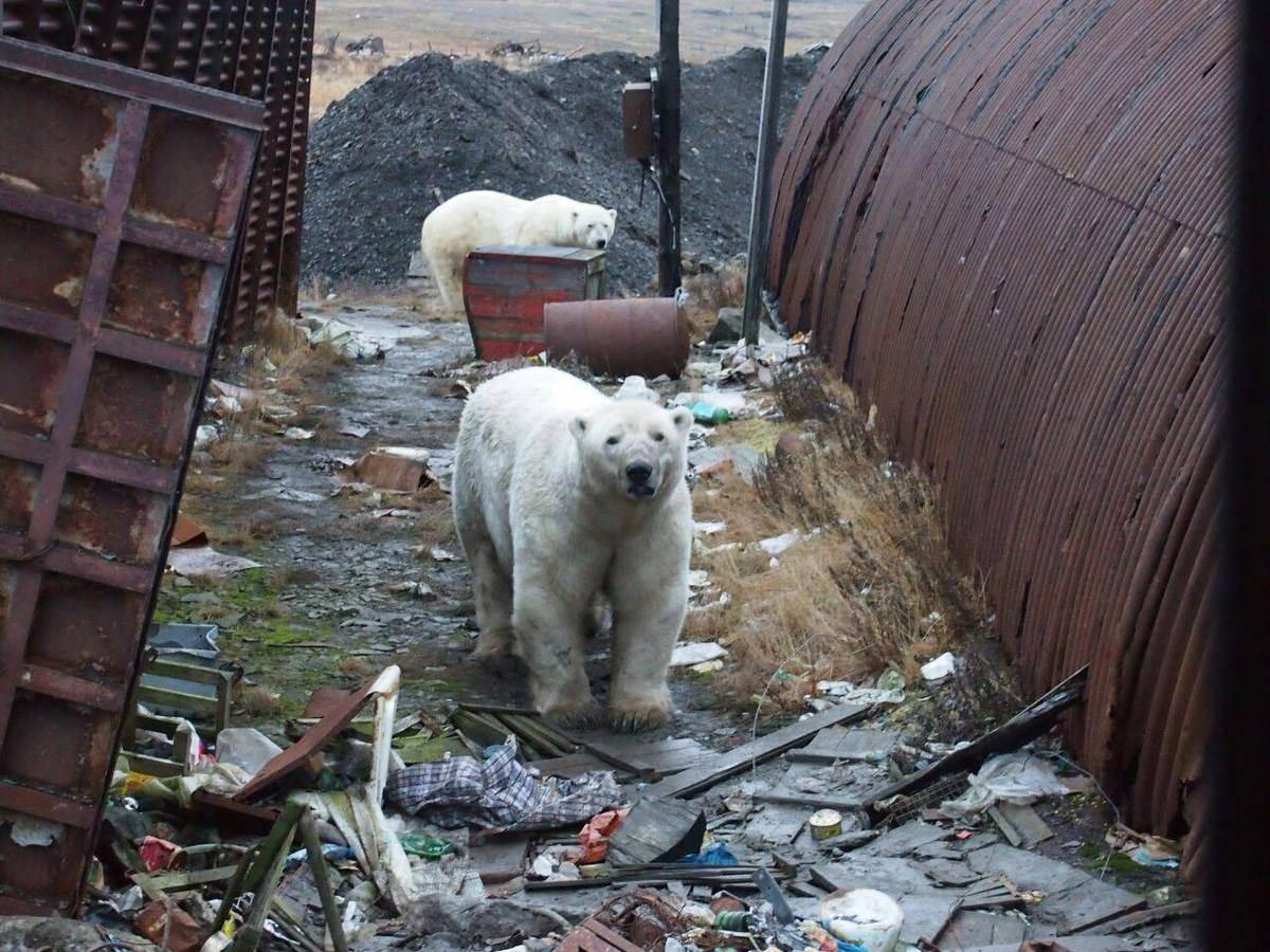 Нашествие белых медведей на Новой Земле фото новости в фотографиях