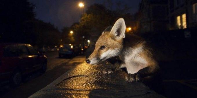 Городские лисы в Лондоне фото