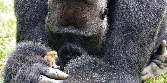 Горилла подружилась с крохотной обезьянкой, размером с её палец фото