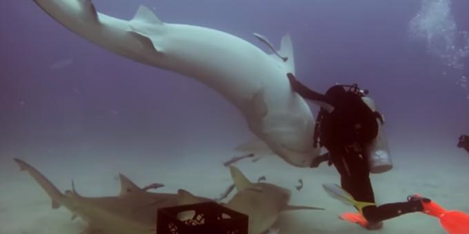 Дайвер загипнотизировал тигровую акулу видео