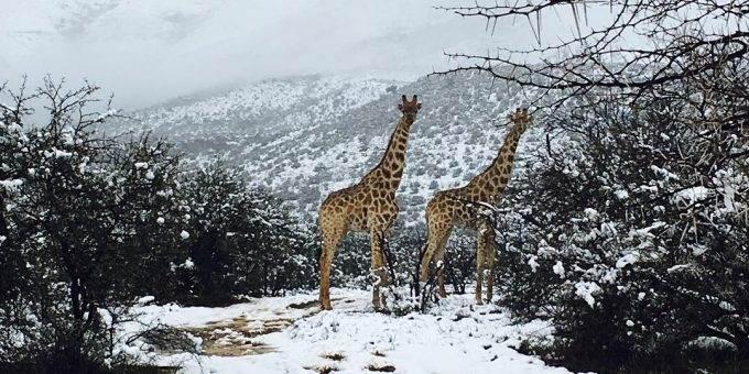 Жирафы и слоны ходят по снегу после снегопада в Африке фото