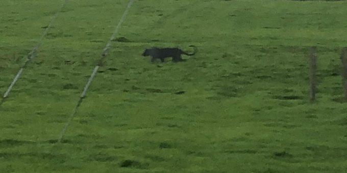 Подросток перепугал всю округу искусственной пантерой фото