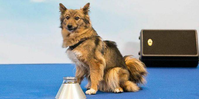 Шалайка новая порода собак фото