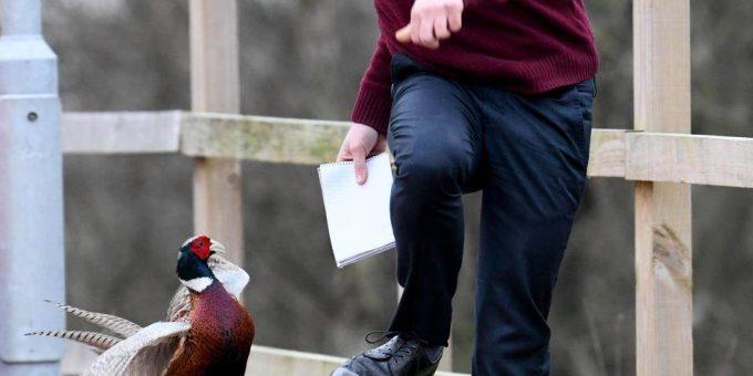 Люди боятся выходить из домов из-за агрессивного фазана