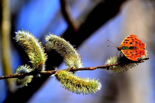 Бабочка на веточке вербы