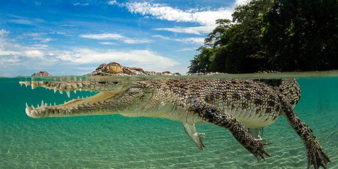 Гребнистый крокодил красивые фото