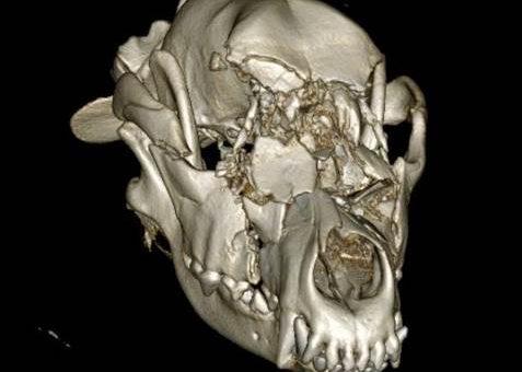 Немецкая овчарка после аварии получила бионическое лицо