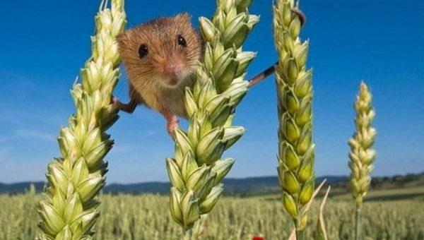 Такая сложная жизнь полевой мышки
