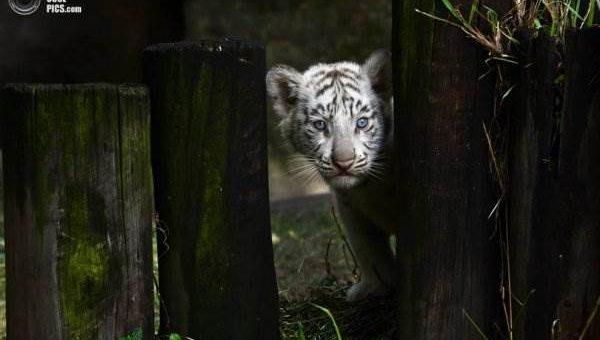 Белые тигрята фото