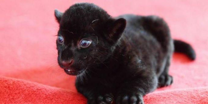Чёрный тигрёнок из зоопарка города Ханчжоу (Китай)