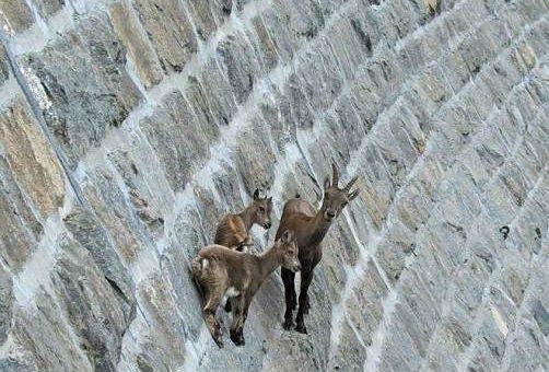 Невероятные фото горных козлов
