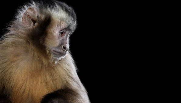 Фотограф Brad Wilson портреты обезьян