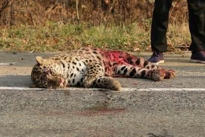 В Приморье сбили леопарда Меамура