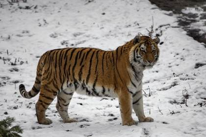 В Хабаровском крае охотник застрелил амурского тигра
