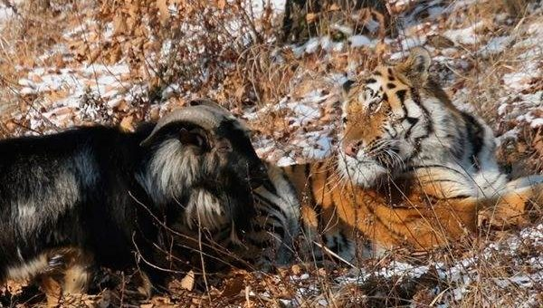 Дружба тигра Амура и козла Тимура фото и видео