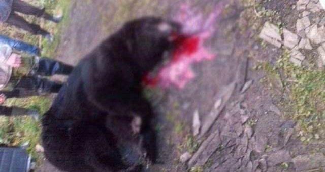 Под Тверью медведь растерзал двоих охотников фото