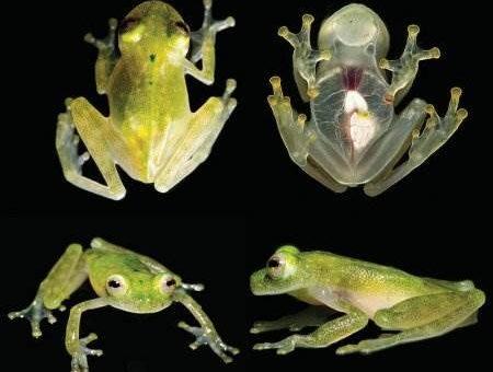 Ученые обнаружили самую прозрачную лягушку
