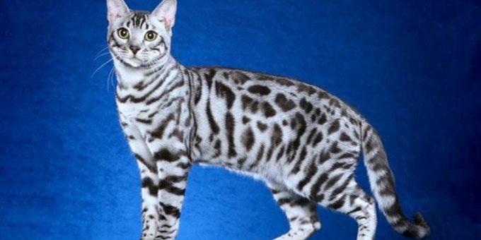 Самые красивые бенгальские кошки (18 фото)