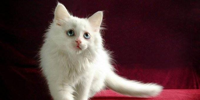 Самые красивые белые кошки (15 фото)