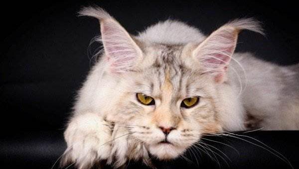 Самые красивые кошки мейн-куны (20 фото)