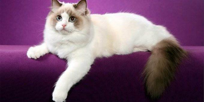 Самые красивые породы кошек (22 фото)