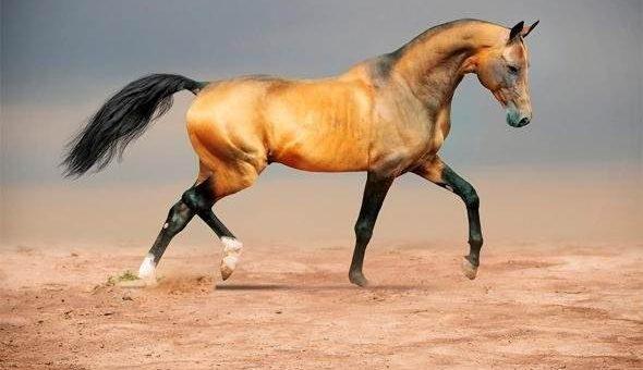 Самые красивые фото арабской лошади (20 фото)
