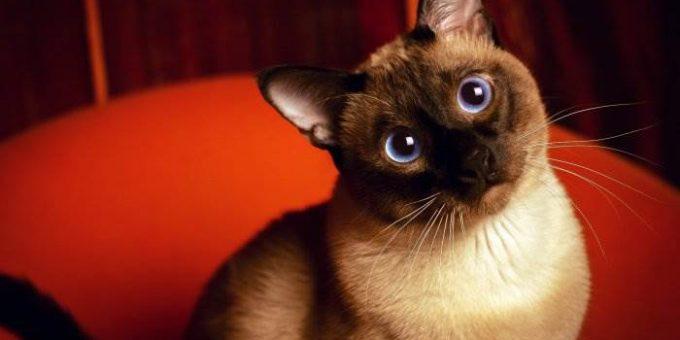 Самые красивые сиамские кошки (20 фото)