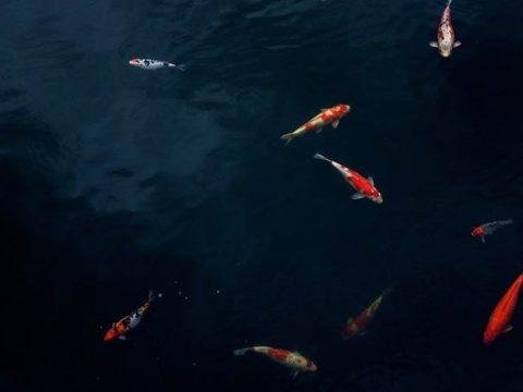Золотые рыбки в пруду фото