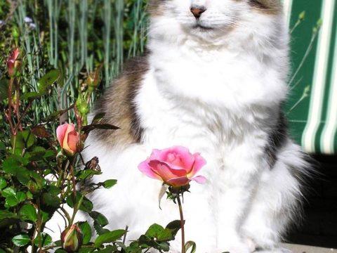 Кошка и розы фото