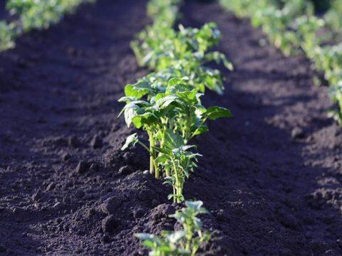 Картошка на огороде фото