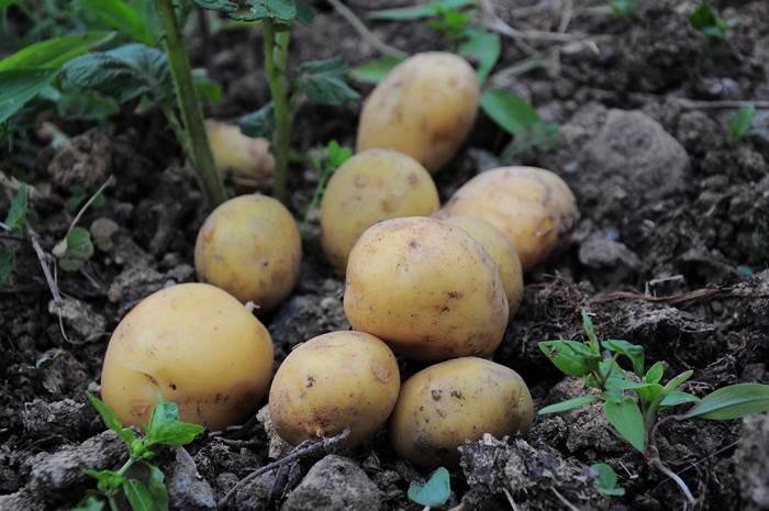Картошка фото
