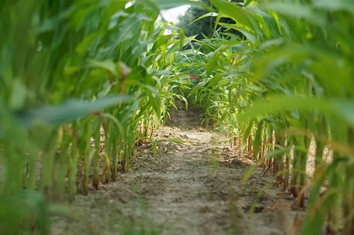 Ряды кукурузы