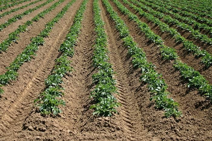 Картофель поле