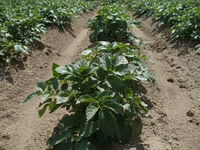 Картофель огород