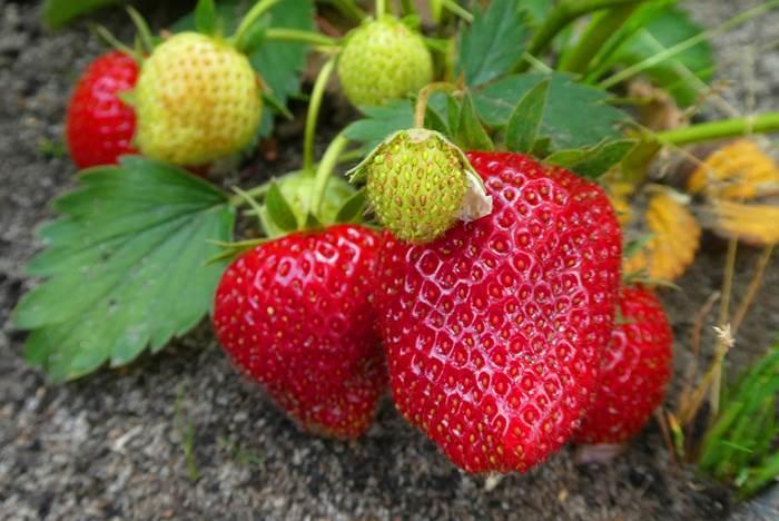 Клубника спелые ягоды