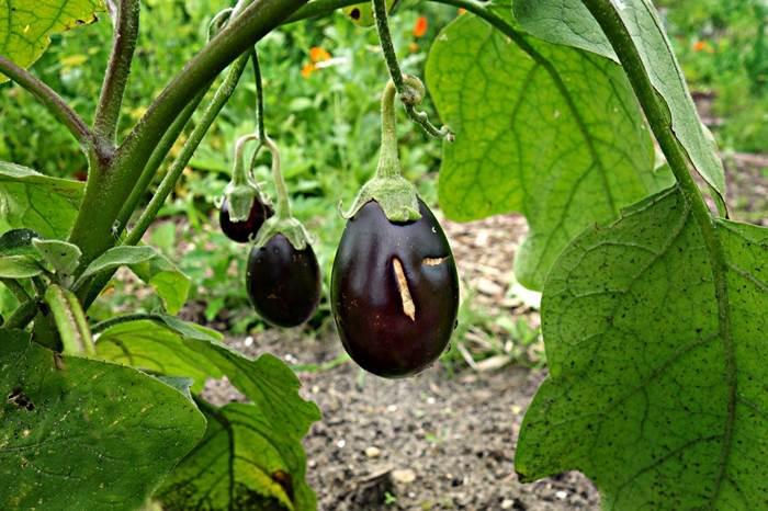 Баклажан плоды