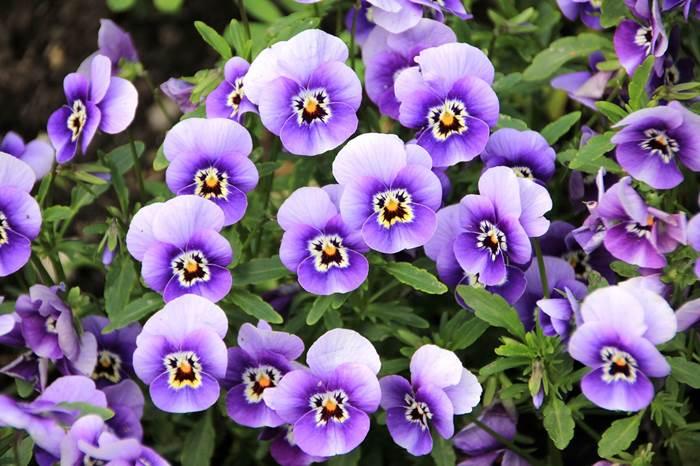 Анютины глазки цветы фото