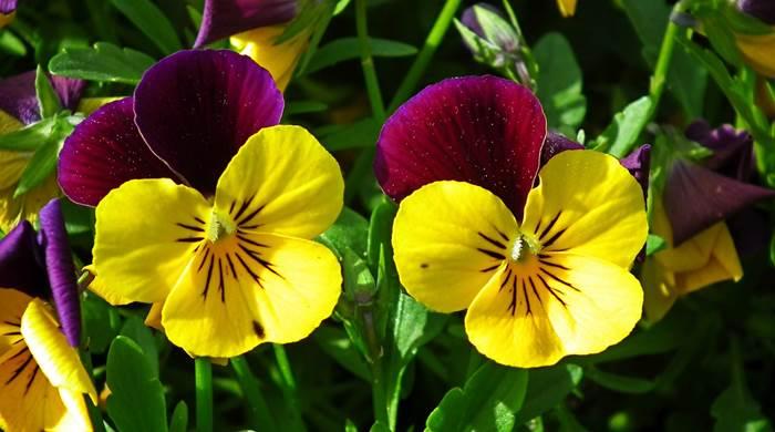 Анютины глазки для садоводов и огородников