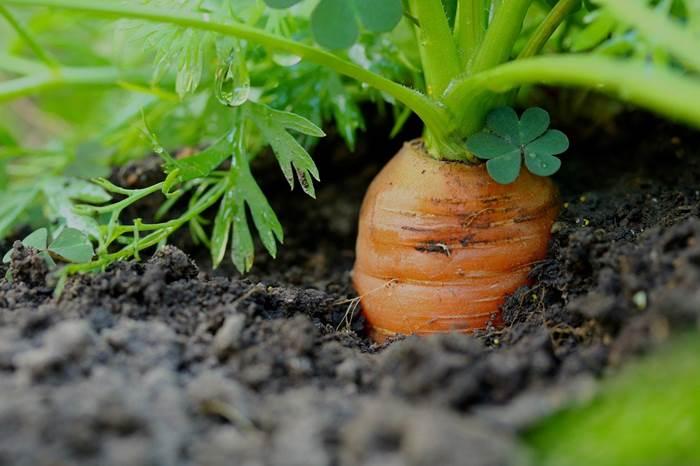 Морковь благоприятные дни лунный календарь