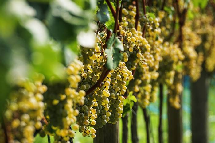 Летняя обрезка винограда