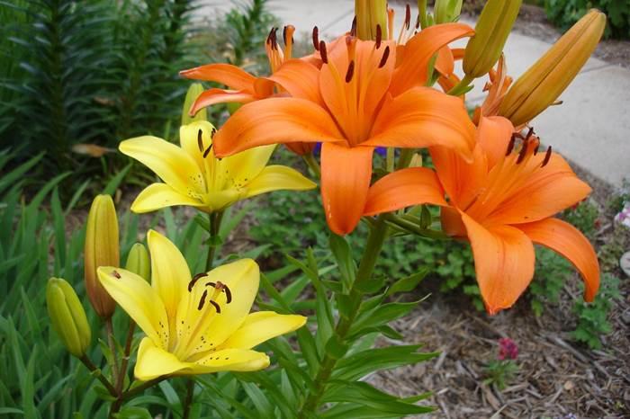 Цветущие лилии