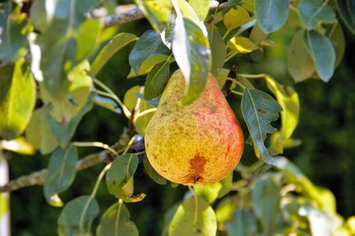 Груша на дереве летом