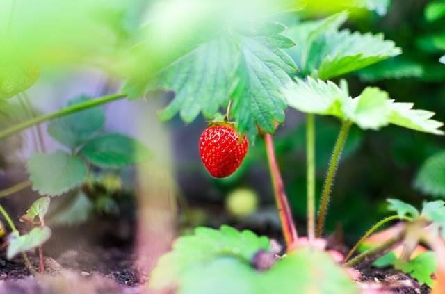 Спелая клубника на огороде