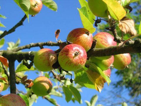Яблоня летом
