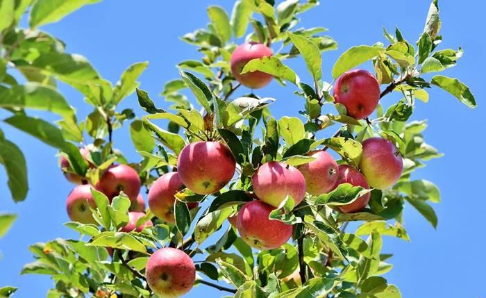 Яблоки на яблоне фото